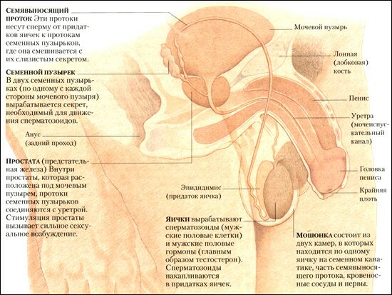 Смотреть фото половых органов фото 623-104