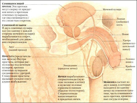 половых органов схема